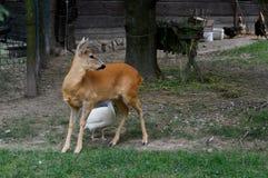 jeleni i kolorowi kurczaki obrazy royalty free