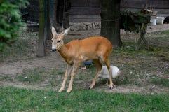 jeleni i kolorowi kurczaki fotografia stock
