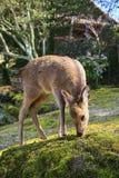 jeleni japoński shika Zdjęcia Stock