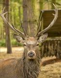 jeleni jeleń obrazy stock