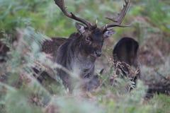jeleni jeleń zdjęcie stock