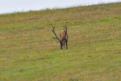 Jeleni jeleń ciie trawy w bekowisko sezonie obraz stock
