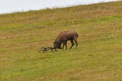 Jeleni jeleń ciie trawy w bekowisko sezonie zdjęcia royalty free