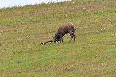 Jeleni jeleń ciie trawy w bekowisko sezonie obrazy stock