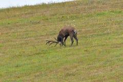 Jeleni jeleń ciie trawy w bekowisko sezonie obrazy royalty free