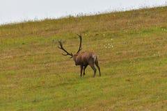 Jeleni jeleń ciie trawy w bekowisko sezonie fotografia royalty free