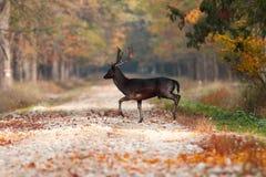 Jeleni jeleń w drewnach obraz royalty free