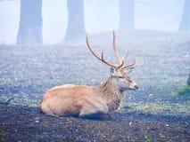 Jeleni jeleń w jesieni bekowisku obraz royalty free