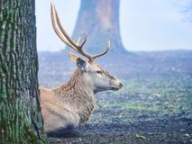 Jeleni jeleń w jesieni bekowisku fotografia royalty free