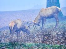 Jeleni jeleń w jesieni bekowisku obraz stock