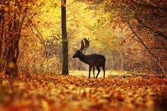 Jeleni jeleń w kolorowym jesień lesie obraz royalty free