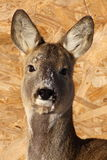 jeleni kobiety parka roe Obrazy Stock
