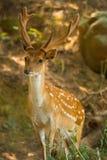 jeleni lasowy sika v obrazy stock