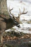 jeleni męski ogoniasty biel Zdjęcia Royalty Free