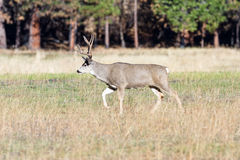 jeleni muł Yosemite obraz royalty free