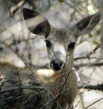 jeleni muł Obrazy Stock