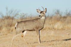 jeleni muł Zdjęcia Royalty Free