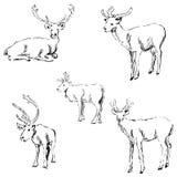 Jeleni nakreślenie Ołówkowy rysunek ręką Fotografia Royalty Free