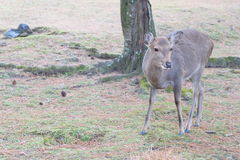 Jeleni Nara fotografia royalty free