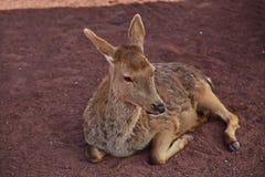 jeleni odpoczynkowi potomstwa zdjęcie stock