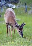jeleni ogoniasty biel fotografia stock