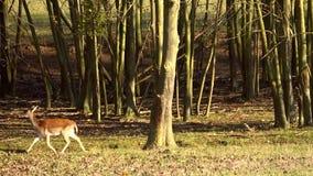 Jeleni patrzeć wokoło w lesie, zwolnione tempo zbiory wideo