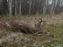 Jeleni polowanie w Minnestoa Zdjęcie Royalty Free