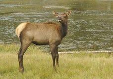 jeleni potomstwa Zdjęcia Stock