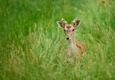 jeleni potomstwa Zdjęcie Royalty Free