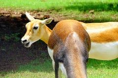 Jeleni samiec zwierzę Fotografia Royalty Free
