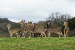Jeleni stado w Dzikim Fotografia Royalty Free