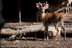 jeleni Thailand Zdjęcie Royalty Free