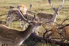 jeleni ugory Zdjęcie Stock