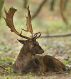 jeleni ugory Zdjęcie Royalty Free