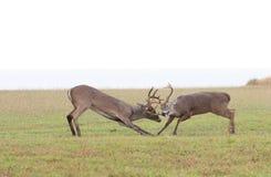 jeleni walczący whitetail Zdjęcia Stock
