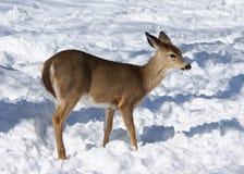 jeleni whitetail Zdjęcia Royalty Free