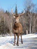 jelenia żeńska czerwień zdjęcie royalty free