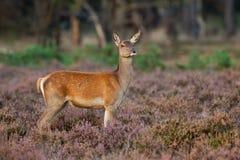 jelenia żeńska wrzosu czerwieni pozycja obraz stock