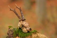jelenia czaszka Zdjęcia Royalty Free