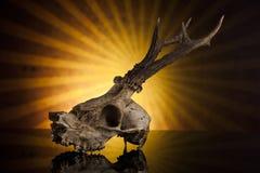 Jelenia czaszka Obrazy Royalty Free