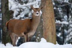 jelenia czerwień Obrazy Stock