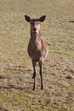 jelenia czerwień Zdjęcia Royalty Free
