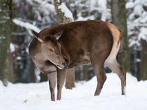 jelenia czerwień Fotografia Stock