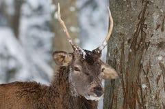 jelenia czerwień Zdjęcie Stock