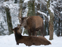 jelenia czerwień Obraz Stock