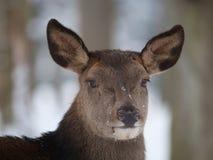 jelenia czerwień Fotografia Royalty Free