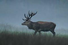 jelenia czerwień Zdjęcie Royalty Free