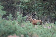 jelenia czerwień Obrazy Royalty Free