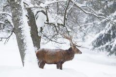 jelenia czerwona zima zdjęcie royalty free