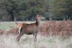 Jelenia czerwony rogacz biega dzikiego Anglia Cervus elaphus Obrazy Royalty Free